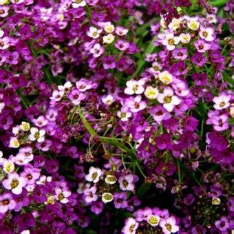 10 Benih Biji Bunga Zinnia Carpet benih alyssum royal carpet 10 biji non retail bibitbunga