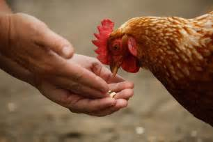 S Chicken Backyard Chickens Linked To Salmonella Outbreaks Cdc Says