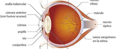 imagenes de ojos humanos y sus partes las partes del ojo