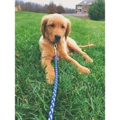 golden retrievers for sale in kentucky golden retriever for sale ky photo