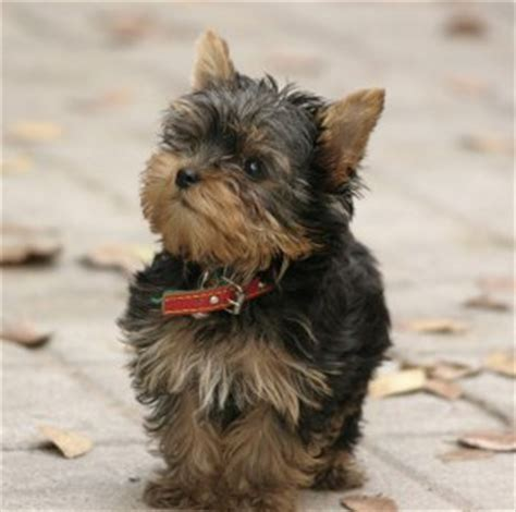teacup yorkie shedding yorkiepoo terrier poodle mix info temperament diet puppies