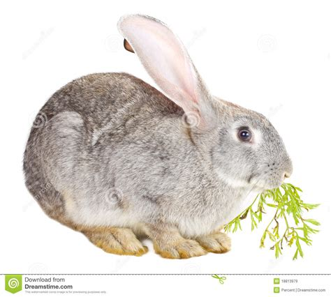 Bunny Nature Snack Fresh Green Snack With Dandelion 450g gray rabbit carrot leaf royalty free stock images image 18813979