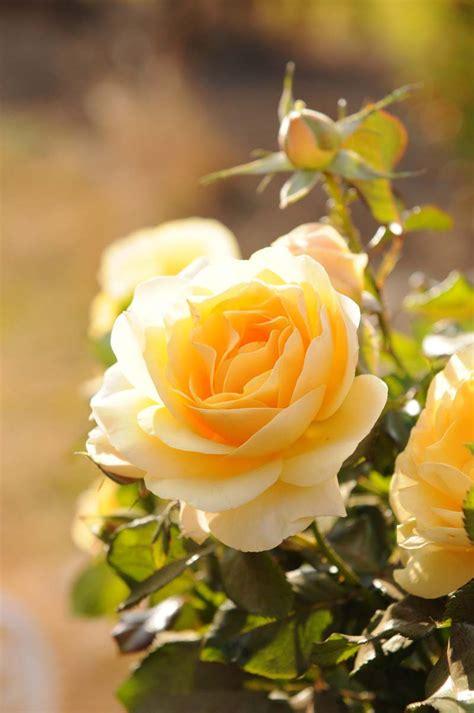 lemonessence ludwigs rosesludwigs roses