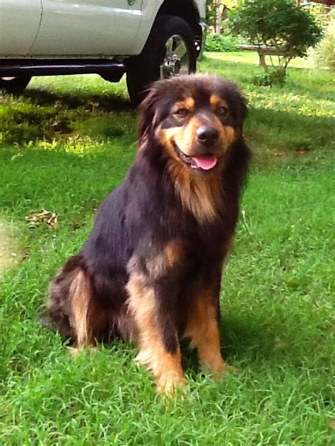 collie rottweiler mix collie rottweiler mix cutie pies this and dogs