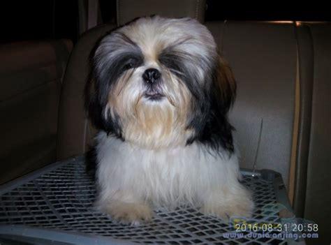 Makanan Anjing Royal Canin Shih Tzu Junior 1 5 Kg dunia anjing jual anjing shih tzu jual aning shih tzu