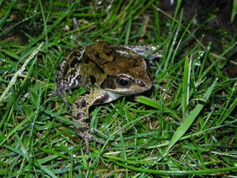 Garden Frogs by Common Frogs In The Garden Three Amigos Birding