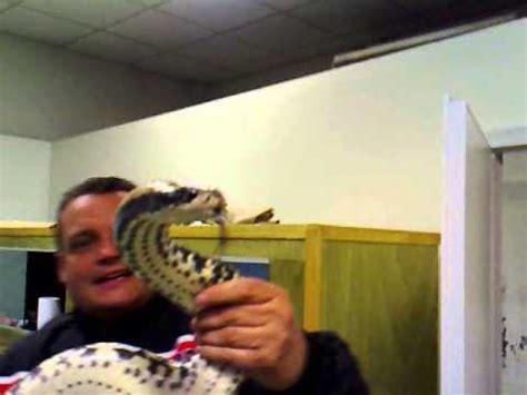 testo il cobra non è un serpente tutto sul cobra animali dal mondo