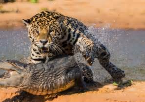 What Does Jaguar Eat What Do Jaguars Eat