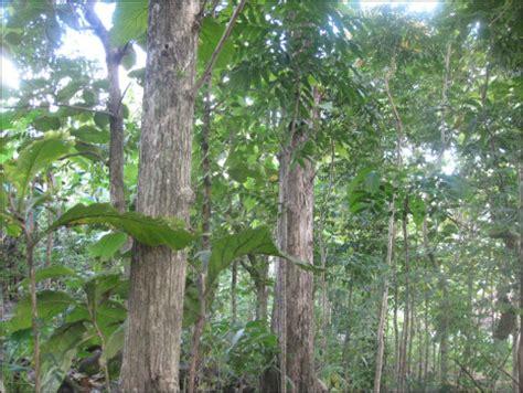 Pohon Kayu Cendana Wangi Ntt 3 Bibit indonesia multimedia memotret hutan indonesia
