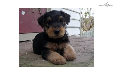 rottweiler puppies for sale in hton roads airedale terrier puppies airedale terrier puppy for sale