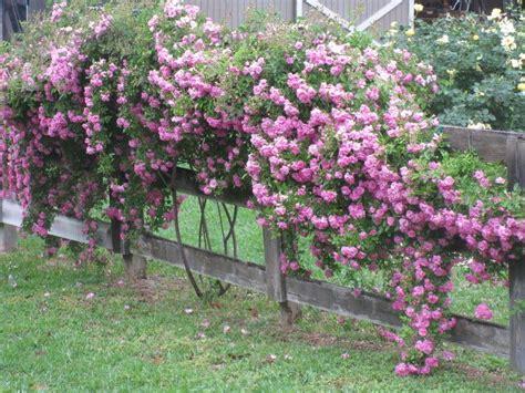 pin  antique rose emporium  peggy martin climbing