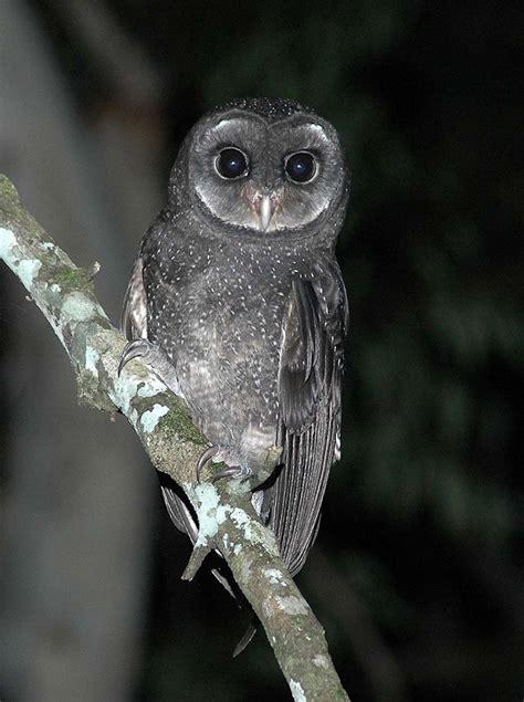 Anting Silver Owl Burung Hantu rapaces nocturnas