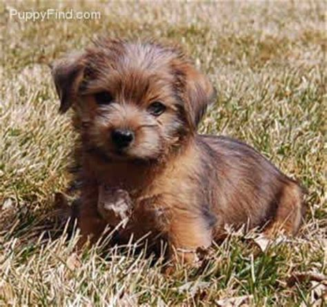 Do Norfolk Terriers Shed by Norfolk Terrier Puppy Possible Pets Puppys