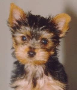 yorkie puppies salt lake city pets salt lake city ut free classified ads