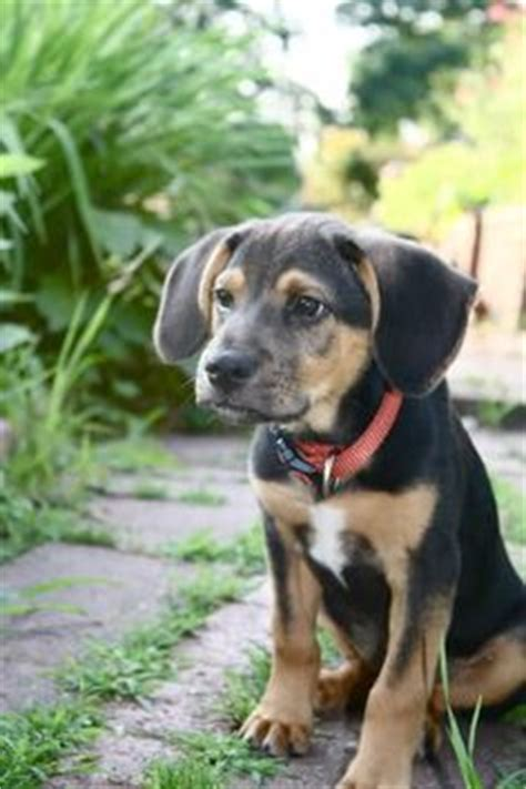 bluetick coonhoundlabrador retriever mix  cute pinterest cas freckles  puppys