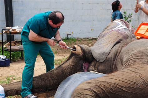 preguntas para una entrevista en un zoologico termin 243 la operaci 243 n de elefante tantor en zool 243 gico de