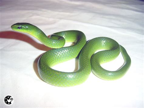 Green Garden Snake by Sun Shines Green Snakes
