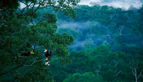 Kaos Burung Walet Background Hutan huntan borneo vs hutan amazone