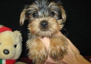 free puppies augusta ga dogs augusta ga free classified ads