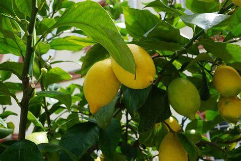 menanam lemon hidroponik cara menanam lemon di pekarangan rumah mediatani