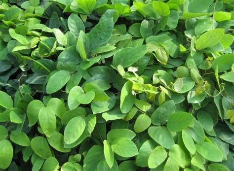 l dopa vegetables mucuna seed pruriens zhong wei horticultural products