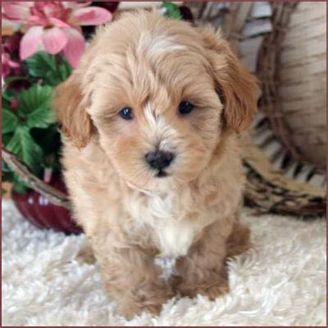 lifespan maltese poodle mix maltese poodle mix for sale dogs in our photo