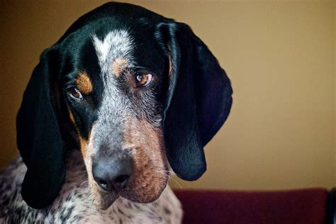 Coonhound Shedding by Bluetick Coonhound