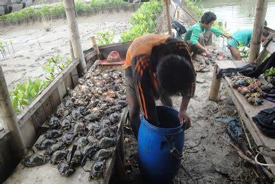 Pakan Udang Lestari uji coba budidaya pengemukan kepiting bakau program kegiatan