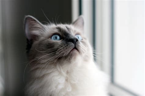 What You Need To Know About Owning A Ragdoll Cat   SoPurrfect