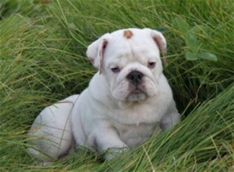free puppies abilene tx dogs abilene tx free classified ads