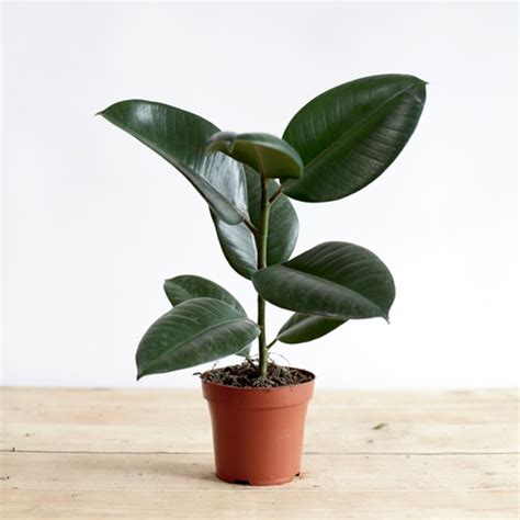 rubber fig send plants to india buy plant online india