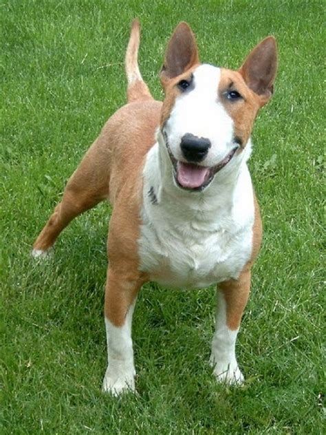 bull terrier terrier dog puppies pictures
