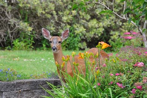 how to keep deer out of your garden pretty acres