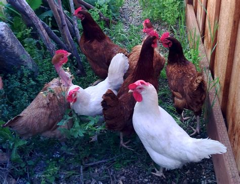 guide to raising backyard chickens a guide to raising backyard chickens for busy