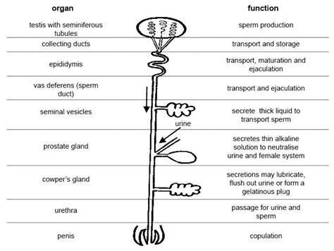 use diagram external system external reproductive system parts and functions