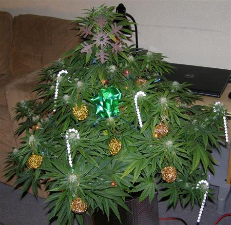 marijuana christmas tree pics garden views สวนพ เศษ ด แลพ ชต องห าม ก ญชา อย างไรภายใต ระบบโรงเร อน