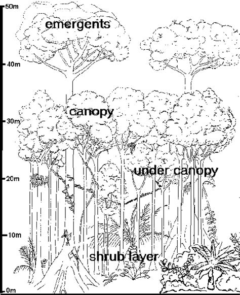 rainforest canopy coloring page layers of rainforest worksheet