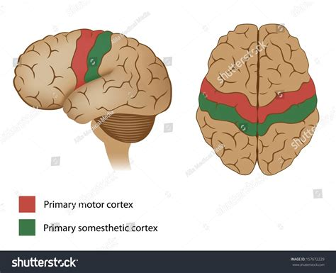 motor and sensory areas of the brain motor and sensory areas of the brain stock photo 157672229
