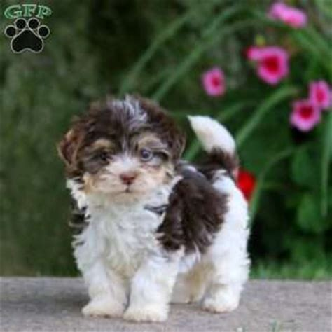 havanese puppies pa havanese puppies for sale breed profile greenfield puppies