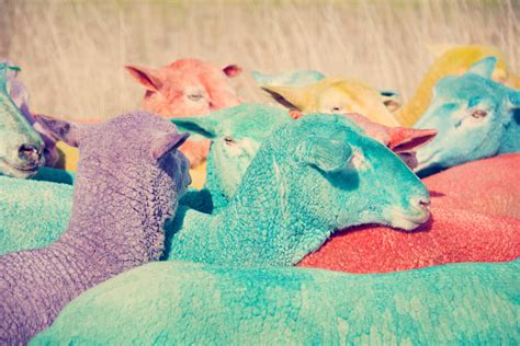 colored sheep gray malin photographs a of rainbow colored