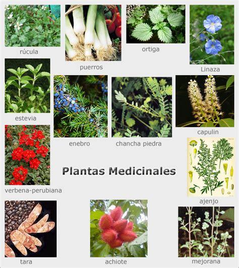 imagenes de flores medicinales plantas medicinales con sus nombres y dibujos imagui