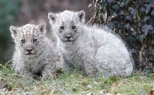 Pictures Of White Jaguars Jaguar Canis Lupus Hominis