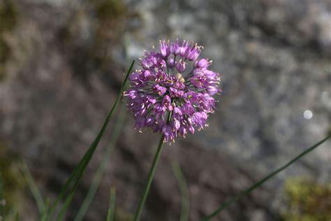 allium sacculiferum wikispecies