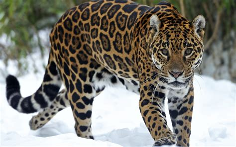 all about the jaguar panthera onca