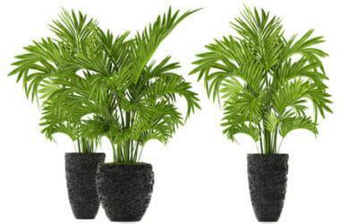 kentia pianta da appartamento kenzia o kentia i segreti di questa pianta da