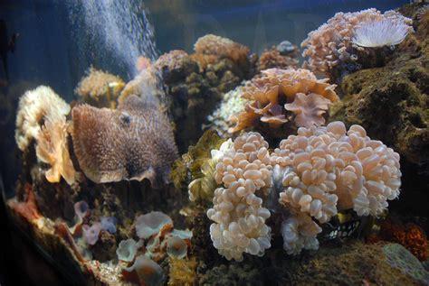 Batu Kerang Laut chesnut terumbu karang
