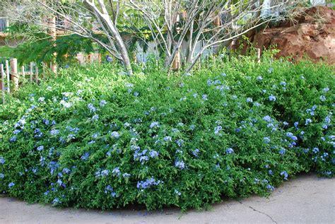 blue flowering shrubs in florida file cape plumbago orlando fl jpg wikimedia commons
