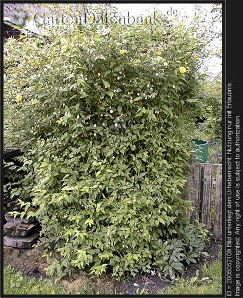 obstbaumschnitt wann bild b 228 ume schneiden baumschnitt obstbaumschnitt