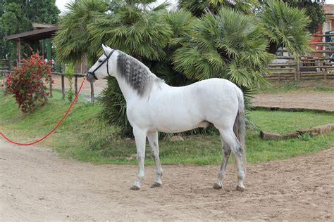 in vendita a cobasso cavalli andalusi in vendita cavalli andalusi in vendita
