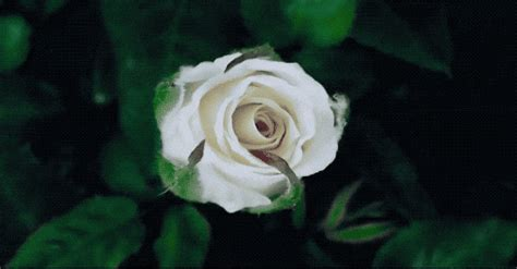 gif wallpaper of flower 78 blooming flowers gif hear are some animated blooming